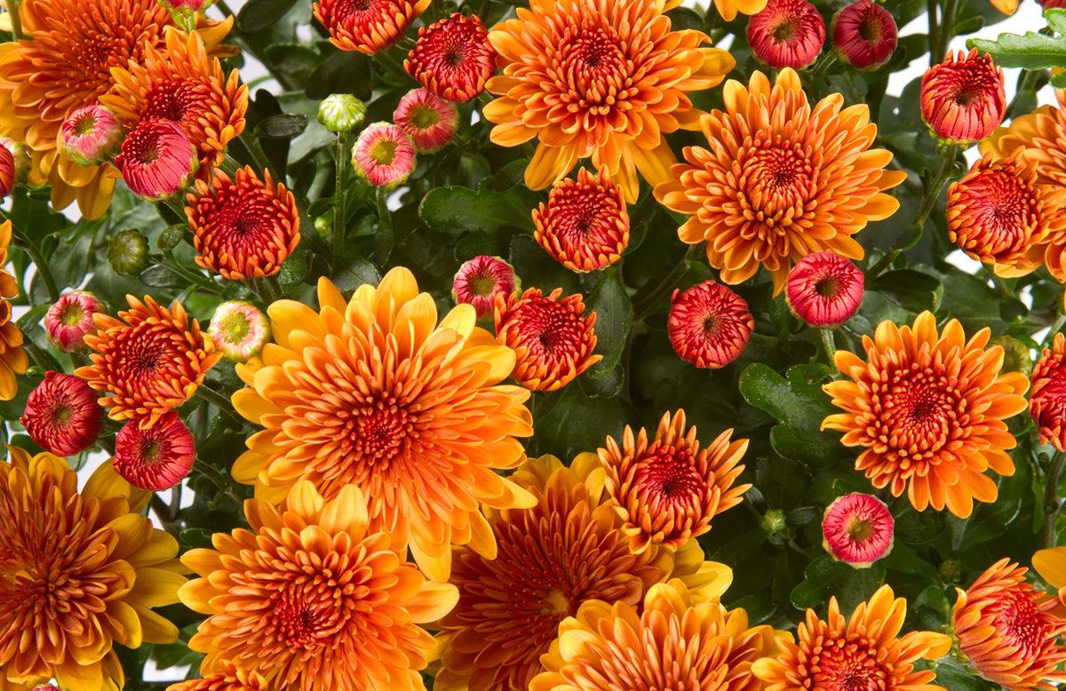 Chrysanthemum indicum (Gartenchrysantheme)