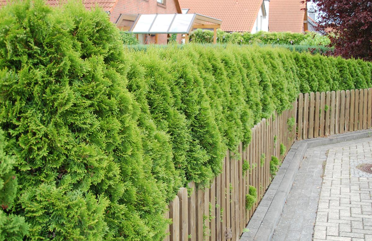 Schnittverträgliche Pflanzen Gärtnerei Sinner in Tübingen