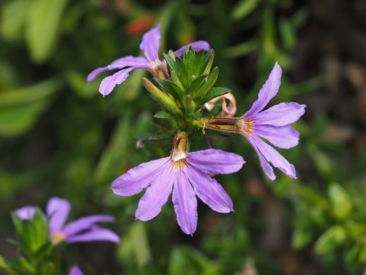 Fächerblume (Scaevola aemula)