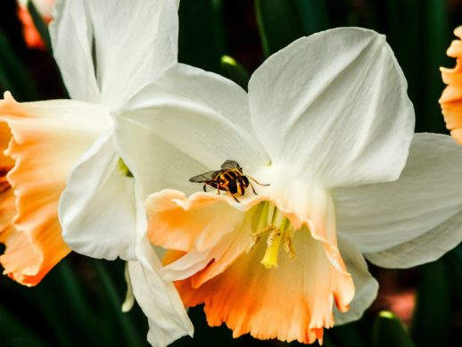 Narzissen (Narzissus obvallaris),